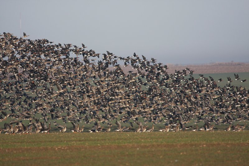 Red-breasted geese