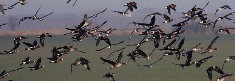Red-breasted geese in flight
