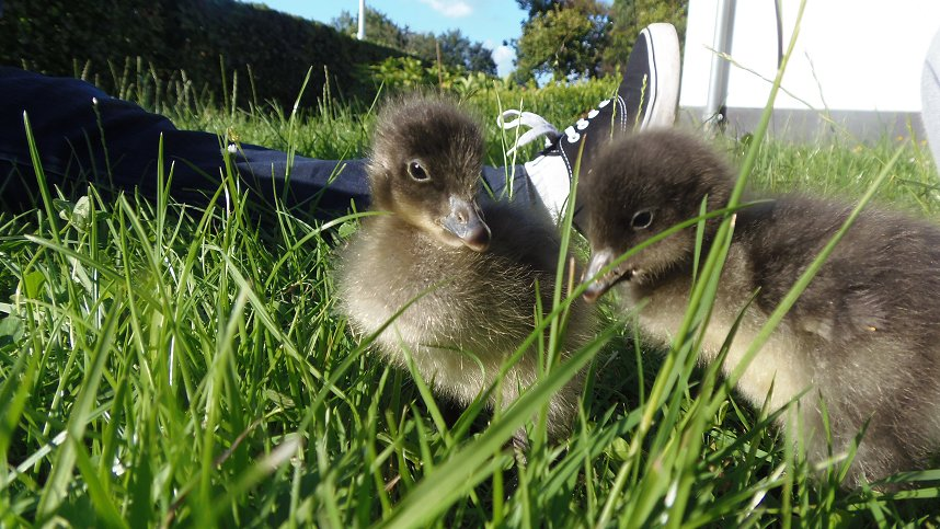 Red-breasted goslings