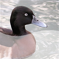 baer's pochard - critically endangered