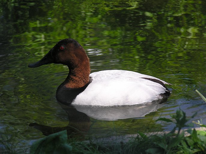canvasback_(1).JPG