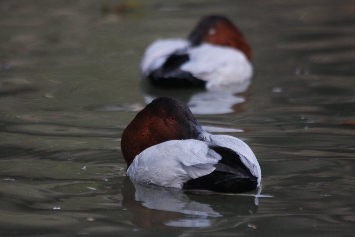 canvasback_(13).JPG
