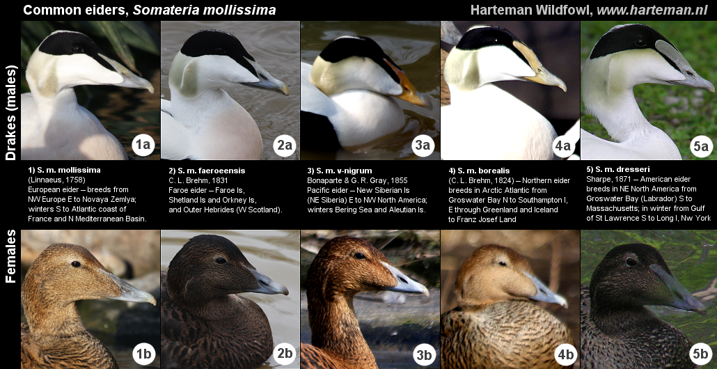 common_eiders.png